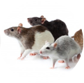rat & mice control
