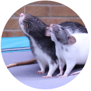 rat control Melbourne