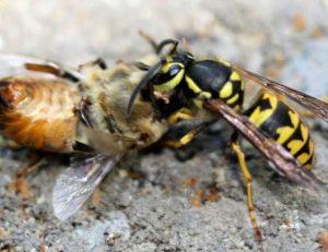 Wasp Control Balwyn