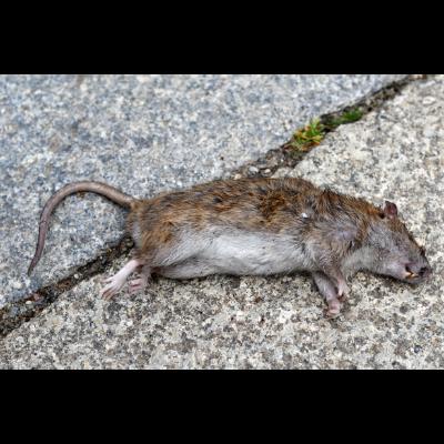 Rat Removal Melbourne
